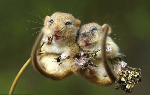 DBDUC response to Deeply Flawed SHDRA Dormouse Survey